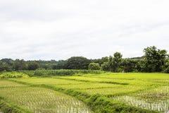 米领域稻农厂风景 免版税库存照片