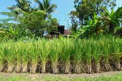 米领域美好的风景 与家和自然的米领域 免版税库存照片