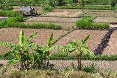 米领域视图在收获以后 巴厘岛 图库摄影