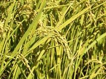 米领域遭受与褐斑病 免版税图库摄影