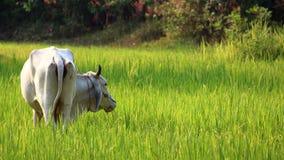 米领域,印度支那 免版税图库摄影