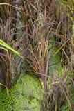 米领域,粮食作物,多米,颜色米,紫色粮食作物 图库摄影
