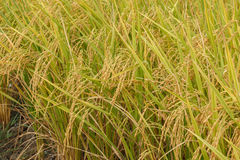 米领域稻在植物中 库存图片