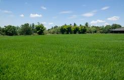 米领域绿色稻农厂蓝天多云在泰国 库存图片