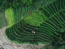 米领域Terasering在Rancakalong Sumedang西爪哇省 免版税库存图片