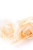 米黄玫瑰 库存照片
