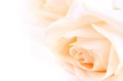 米黄玫瑰 免版税库存照片