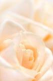 米黄精美玫瑰 库存照片
