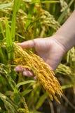 米,稻的金黄耳朵在手中 库存图片