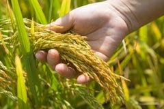 米,稻的金黄耳朵在手中 免版税库存图片