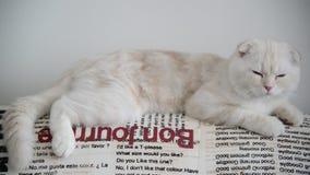 米黄苏格兰人折叠小猫4个月在长沙发向后倾斜 影视素材
