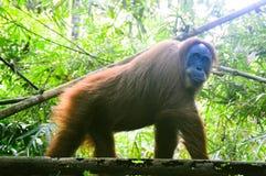 类人猿abelii 免版税图库摄影