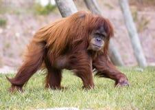 类人猿pygmaeus 免版税图库摄影