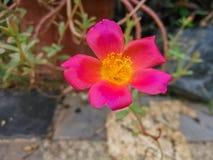 类歼击机杀死,拉丁名字的Sunflowersï ¼ ŒPurslane :大花的Portulaca 图库摄影