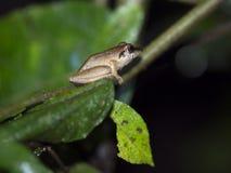 类蛙属的青蛙在Maquipucuna,厄瓜多尔山有雾的森林里  免版税库存照片