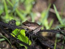 类蛙属的青蛙在Maquipucuna,厄瓜多尔山有雾的森林里  库存图片