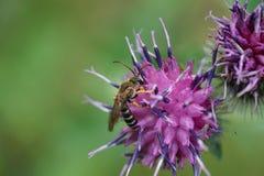 类Melitta的一只镶边和蓬松白种人蜂的宏指令 免版税库存图片