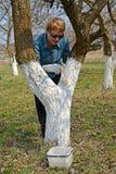 粉刷果树的树干 春天在庭院里运转 免版税库存图片