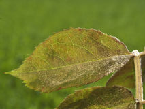 粉状meldew在上升了叶子 库存图片