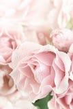 粉红彩笔香水月季 免版税库存图片