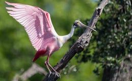 粉红琵鹭在北佛罗里达 免版税图库摄影