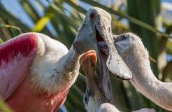 粉红琵鹭在北佛罗里达 库存照片