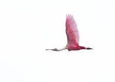 粉红琵鹭在飞行中在白色背景 库存图片