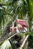 粉红琵鹭饲养时间 免版税库存图片