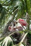 粉红琵鹭饲养时间 图库摄影