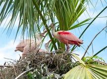 粉红琵鹭饲养时间 免版税库存照片