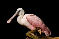 粉红琵鹭 库存图片