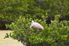 粉红琵鹭 免版税库存图片