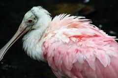 粉红琵鹭 图库摄影