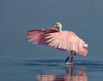 粉红琵鹭spreds它的翼在佛罗里达 免版税库存照片
