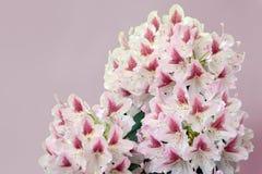 粉红白的杜鹃花花 库存照片