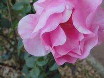 03粉红色上升了 免版税库存图片