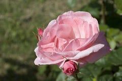 粉红色上升了 库存图片