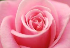粉红色上升了 库存照片