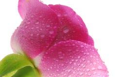 粉红色上升了 免版税库存图片
