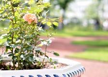 粉红色在花床上上升了在公园 免版税图库摄影