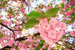 粉红色开花特写镜头 免版税图库摄影