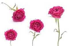 粉红色查出的玫瑰集 免版税库存图片
