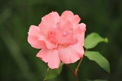 粉红色玫瑰特写镜头 免版税库存图片