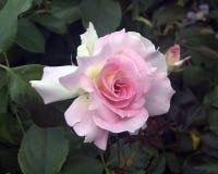粉红色玫瑰白色 库存照片