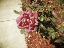 粉红色玫瑰色葡萄酒 免版税库存照片
