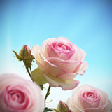 粉红色玫瑰色rosebush结构树 免版税库存照片
