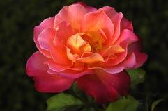 粉红色玫瑰黄色 库存图片