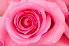 粉红色玫瑰 库存照片