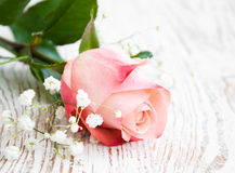 粉红色玫瑰 库存图片