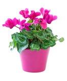 粉红色cyclamen 免版税库存图片